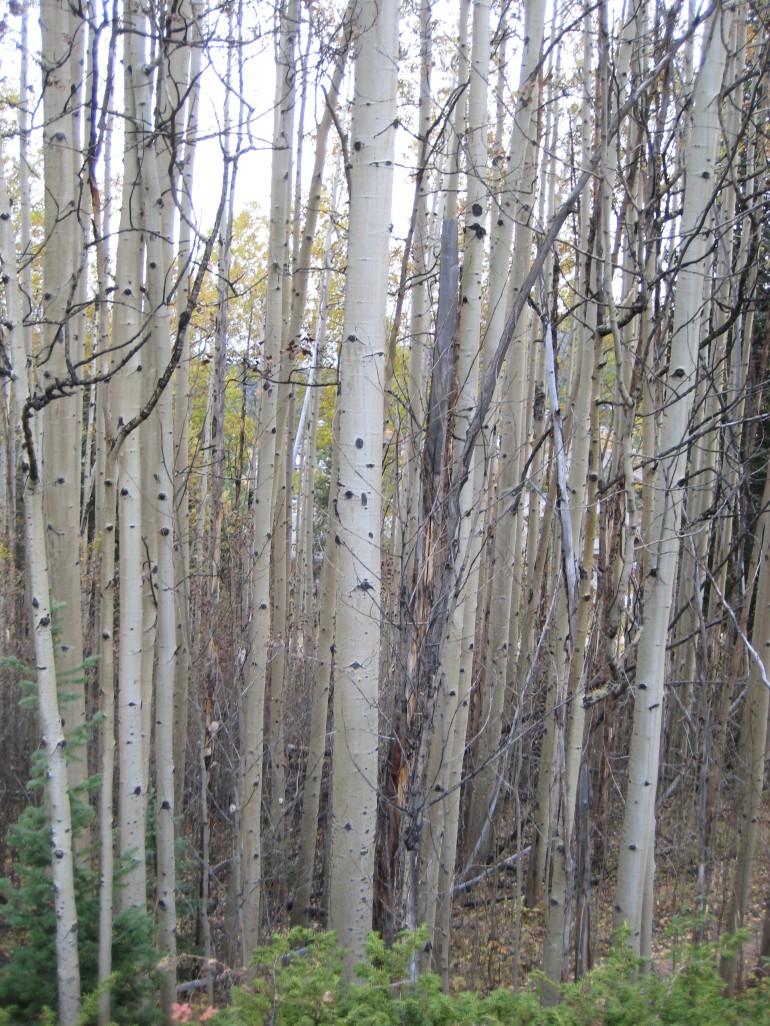 Aspens... sans leaves